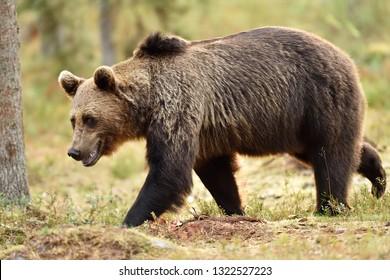 walking bear in forest
