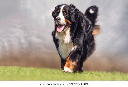 Walking  Bernese mountain dog