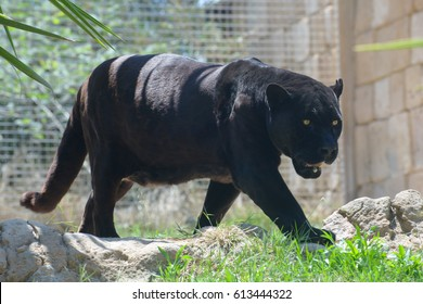 walking black puma