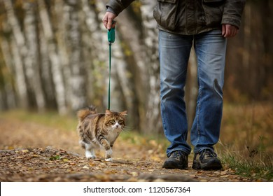 Walking with cat on a leash kuril bobtail