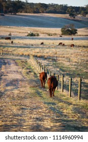 Walking cattle country