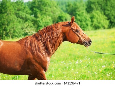 walking chestnut arabian horse in the field