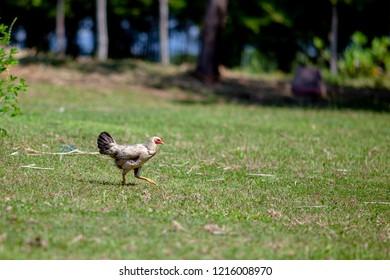 walking chicken outdoor