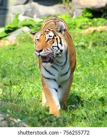 Walking closeup of Tiger