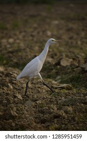 Walking Crane for background and wallpaper - Shutterstock ID 1285951459