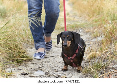 Walking a Dachshund dog