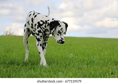 walking dalmatian in the garden