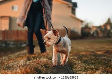 Walking dog at sunset