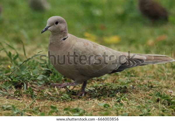 Walking dove in a garden