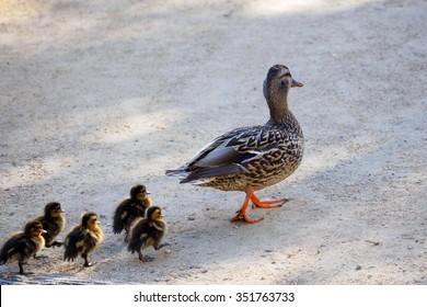 walking duck family