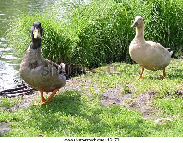 Walking ducks
