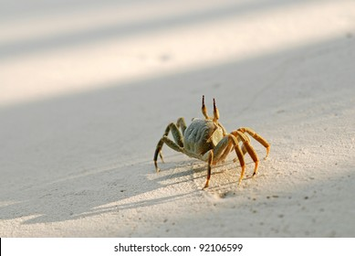 Walking ghost crab at sunset