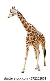 Walking giraffe isolated on white background