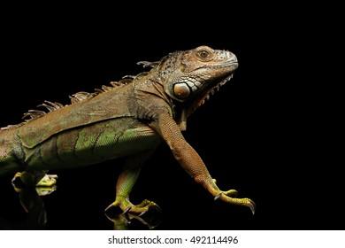 Walking Green Iguana Raising Paw Isolated on Black Background
