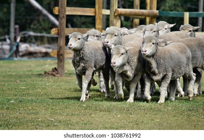 Walking group of sheeps in a farm in Sunshine Coast, Queensland, Australia