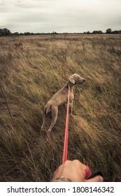 Marcher avec le chien de chasse Weimaraner à travers le champ rural pendant la saison de chasse