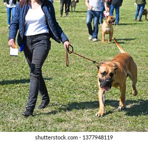 Walking a large bull mastiff dog