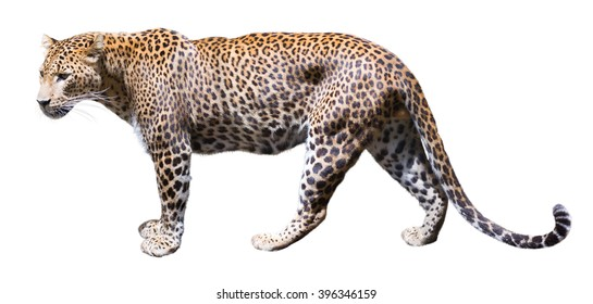 Walking leopard. Isolated over white background