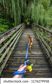 Walking a light brown dog on a wooden boardwalk in the woods, first person point of view, dog harness, person hand holding blue leash, dog poop bags