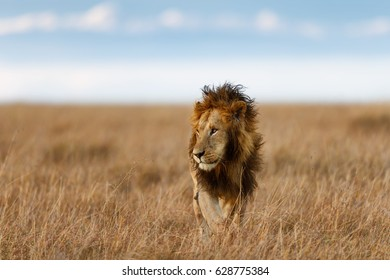 Walking Lion in Masai Mara, Kenya