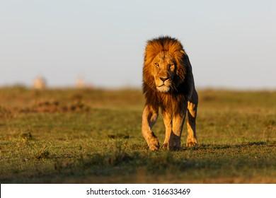 Walking Lion Mohican in Masai Mara, Kenya