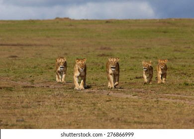 Walking Lions of Double Cross Pride in Masai Mara, Kenya