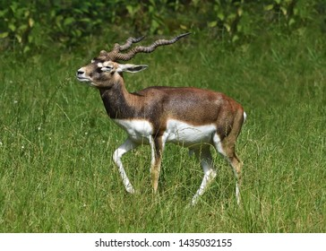 Walking male blackbuck (Antilope cervicapra), also known as the Indian antelope