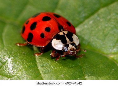 Walking multicoloured Asian Ladybird / Ladybug (Harmonia axyridis)