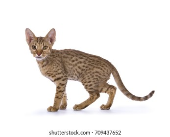 Walking Ocicat kitten isolated on white background