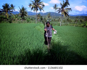 Walking on The Pathway Of The Rice Field At Ringdikit Village North Bali Indonesia