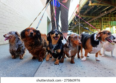 Walking the pack/array of dogs, most dachshunds, being walked by single person in the background on city sidewalk