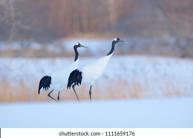 Walking pair of Red-crowned cranes with, with blizzard, Hokkaido, Japan. Pair of beautiful birds, wildlife scene from nature, snowy forest.