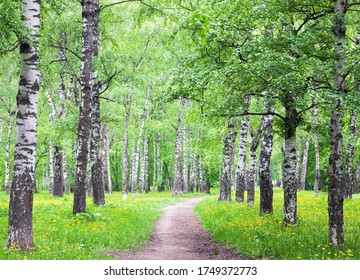 Walking path with blooming dandelions in a spring birch grove