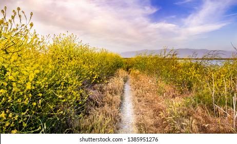 Walking path lined up with Black mustard (Brassica nigra) wildflowers, San Jose, San Francisco bay area, California