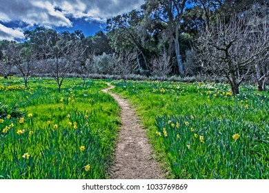 A walking path surrounded by white and yellow daffodils, with early spring trees in the background.