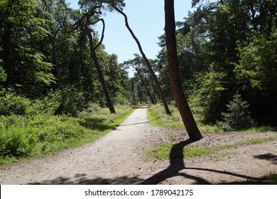 Walking path through the forest to the Dutch dunes near the village of Bergen. With many pines along the path. Summer, Netherlands.