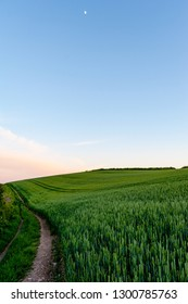 Walking path through wheat fields at dusk, Roseland Peninsula, Cornwall, UK