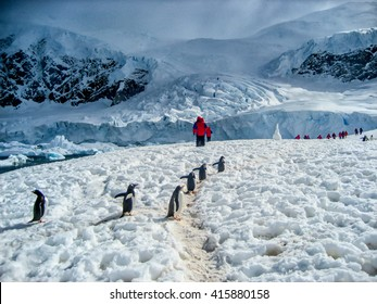Walking with penguins in Antarctica. A group of cruise passengers follow the trail through the snow made by cute Gentoo penguins