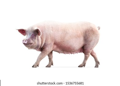 walking pig isolated on white background