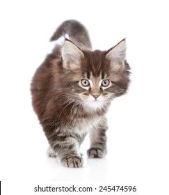 walking small maine coon cat. isolated on white background