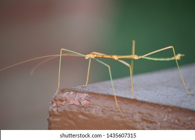 Walking stick insect bug face.