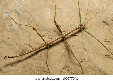 Walking stick or stick insect (Phasmatodea) on a rock
