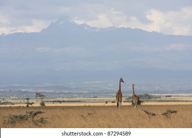 Walking through Aberdare National Park, two giraffes spotted us from above the treelines, and made their way further into the park with Mt Kenya in the background.