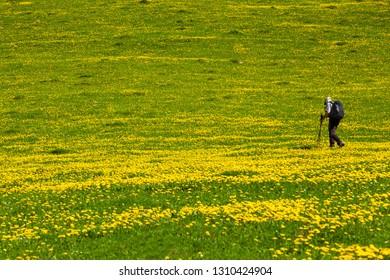 Walking through beautiful spring landscape, dandellion field