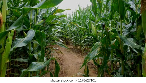 Walking Through a Large Corn Maze, with Tall Corn Stalks on Both Sides