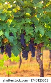 Walking through the vineyards in autumn.