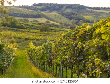 Walking through the vineyards in autumn.
