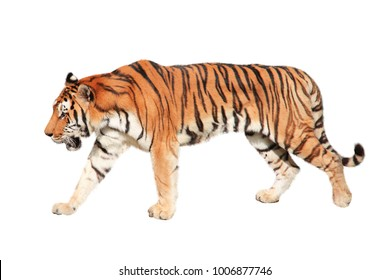 Walking tiger. Isolated on white background