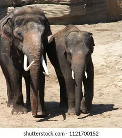 Walking together elephants bull