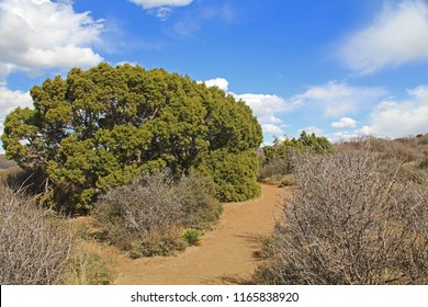 Walking trail next to a large juniper tree in Black Canyon of the Gunnison National Park and recreation area at Painted Wall view, near Montrose, Colorado, USA with blue cloudy sky.